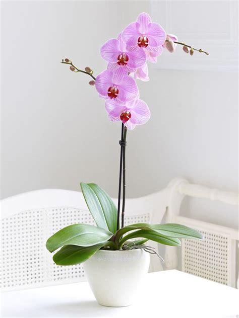 come coltivare le orchidee in vaso oltre 25 fantastiche idee su coltivare orchidee su