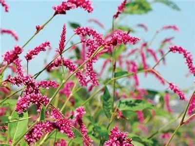 Kiss Me Over The Garden Gate Baker Creek Heirloom Seeds Me The Garden Gate Flower