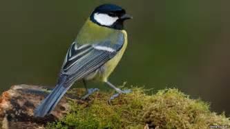 Garden Birds by In Pictures Top Garden Birds Revealed Cbbc