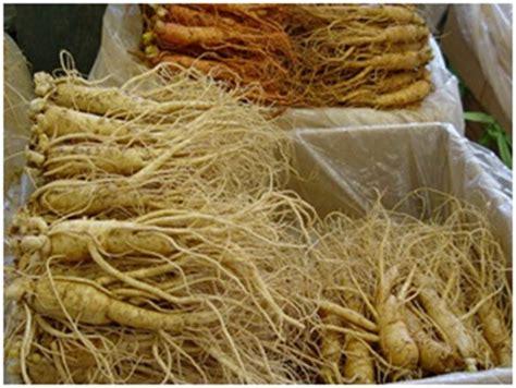 Akar Ginseng Korea khasiat ginseng korea untuk kesehatan oleh pratama rendy