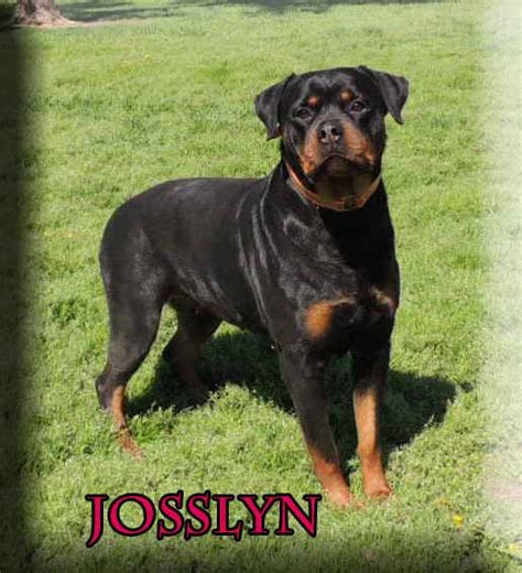 rottweiler puppies in mississippi rottweiler breeders in mississippi breeds picture
