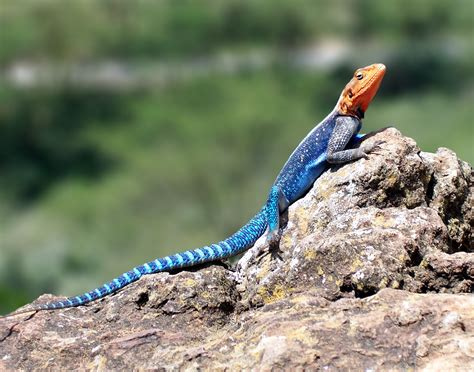 Is Headed For by File Headed Rock Agama Jpg Wikimedia Commons