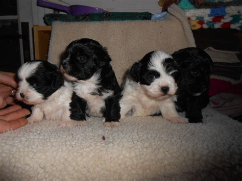 lhasa poo puppies for sale lhasa poo puppies for sale quotes