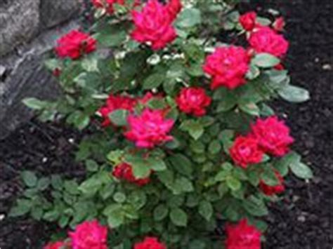 deadheading knockout roses 19 best images about knock out roses on trees