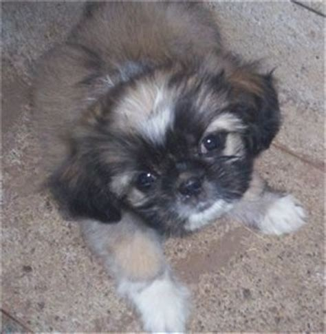pugs for sale albany ny pekingese pug mix breed breeds picture