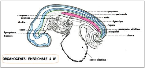 ernia ombelicale interna gastrulazione e organogenesi fertilitycenter
