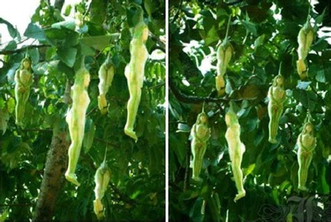 fruit tree growing mysterious tree growing shaped fruits discovered in