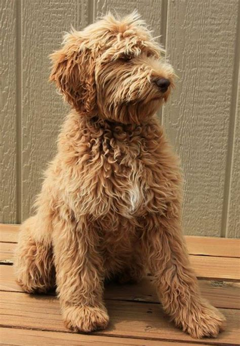 goldendoodle puppy itching 1000 ideas about hair loss in dogs on