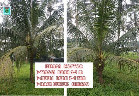 Bibit Kelapa Kopyor Bersertifikat pohon kelapa kopyor buana agro lumlum seed grower