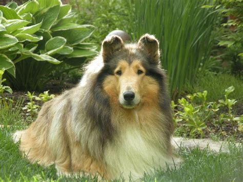 collie puppies for sale in michigan and white collie at taliesen collies of michigan michigan collie