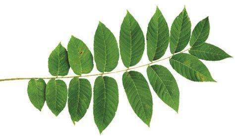 Garden Pest Identification - local leaf identification akron life magazine