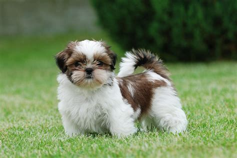 all about shih tzu puppies for sale re shih tzus puppies for a new home