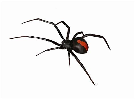 Black And Red Duvet Cover Redback Spider Painting By E Creations