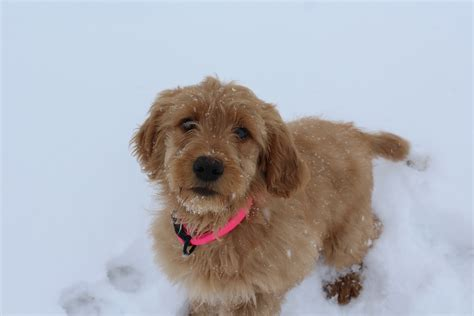 goldendoodle name goldendoodle puppy placed