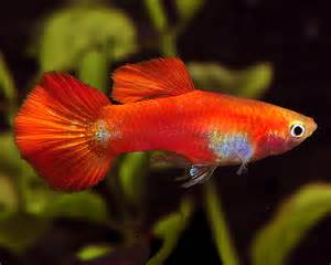 premium male coral red fancy  pictures male coral red