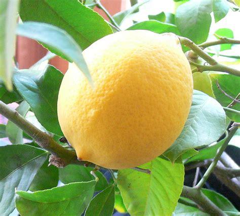 Ratuwon Madu Rasa Lemon limau lemon ummufurqan s weblog