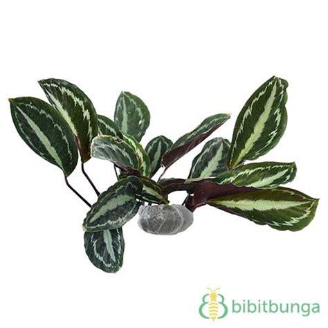 Tanaman Calathea Lancifolia Maranta Hias tanaman painted calathea bibitbunga