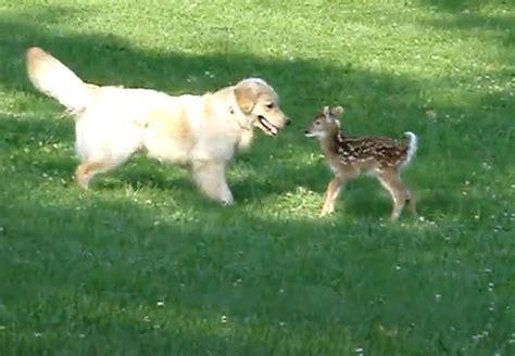 golden retriever saves deer plays with baby deer