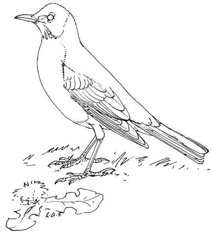 robin bird coloring pages printable coloring pages