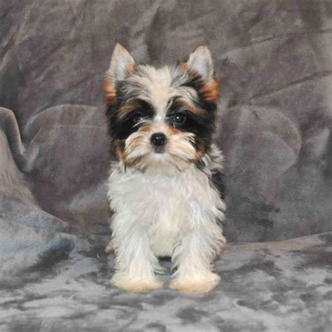 what color will my yorkie be parti yorkies yorkie puppies yorkie puppy yorkies for sale parti yorkie