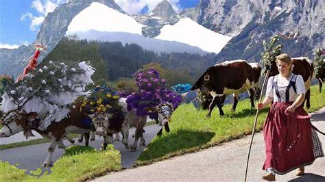 festival in austria the tirol cow festival austria hd1080p