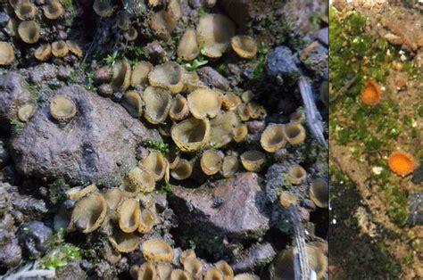 mycelium will make a quot mat quot on the agar cubensis