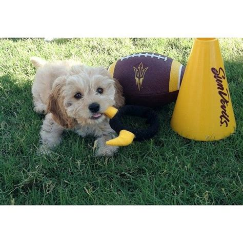 doodle puppies for sale scotland 84 best images about kreative k9s on poodles