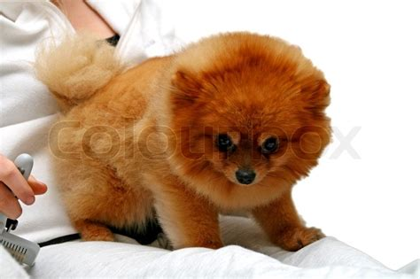 pomeranian getting groomed pomeranian getting groom d by person stock photo colourbox