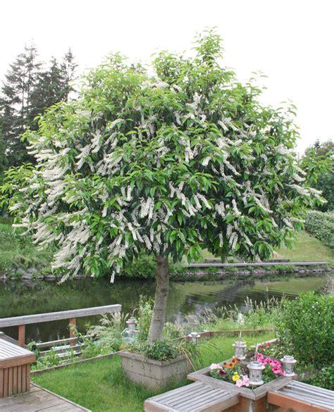 portugiesischer kirschlorbeer plantfiles pictures portugal laurel portuguese cherry