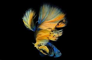 12 most beautiful betta fish in the world types of betta