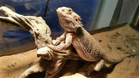 how often do bearded dragons go to the bathroom why bearded dragons are the best