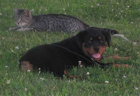 rottweiler breeders ohio german rottweiler breeders ohio dogs in our photo