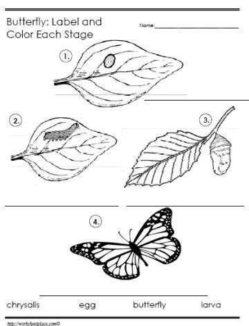 Cycle Of A Butterfly Worksheet For Kindergarten by Butterfly Cycle Label The Stages Worksheets