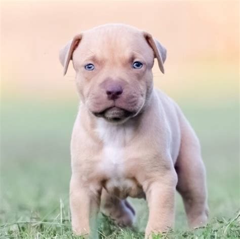 how to build on a pitbull puppy pitbull puppies