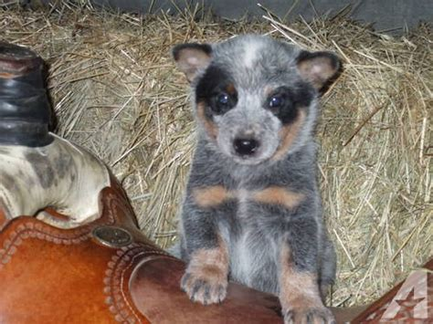 australian cattle for sale adorable purebred australian cattle pups for sale in bluffton indiana classified