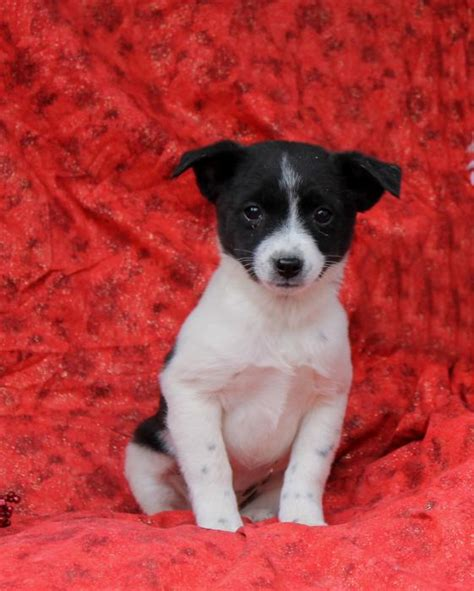 puppies for sale in westchester ny siberian husky puppies for sale westchester new york westchester breeds picture
