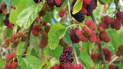 when do mulberry trees fruit weeping mulberry tree hello hello plants garden supplies