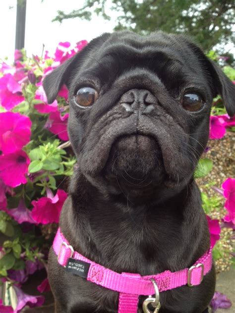 flat faced dogs flat faced www pixshark images galleries with a bite
