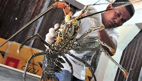 Bibit Udang Lobster menteri susi bertekad berantas penyelundupan bibit lobster