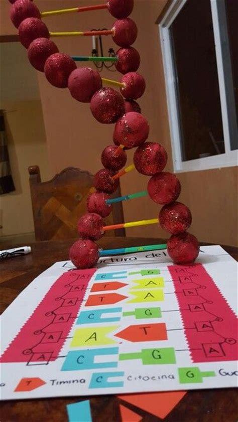 dna en maqueta estructura del adn escuela ideas pinterest