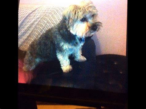 yorkie wanted wanted yorkie cross mini schnauzer clacton on sea essex pets4homes