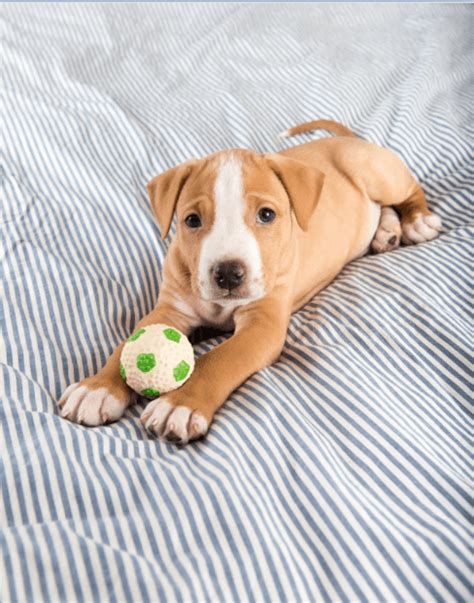 indestructible toys for pit bulls 4 indestructible chew toys for pit bulls simply for dogs