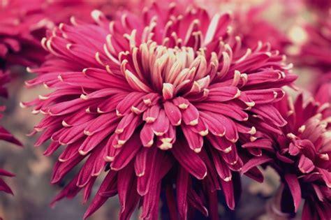 fiori bellissimi foto bellissimi fiori viola scaricare foto gratis