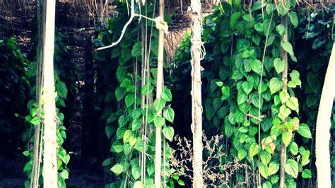 langkah  menanam  merawat daun sirih  rumah