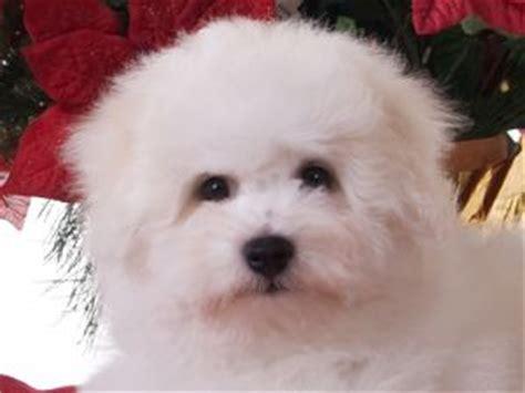 bichon frise puppies for sale nc bichon frise puppies in michigan