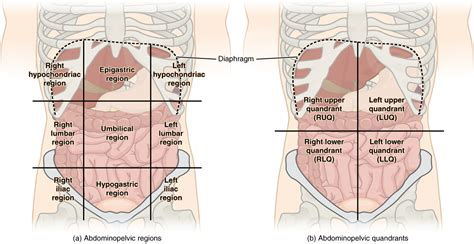 diagram of abdominal organs abdominal quadrants and organs diagram easyposters