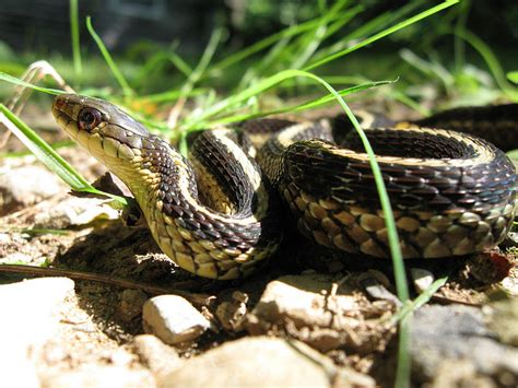 types of garden snakes where did that animal s name come from your great outdoors