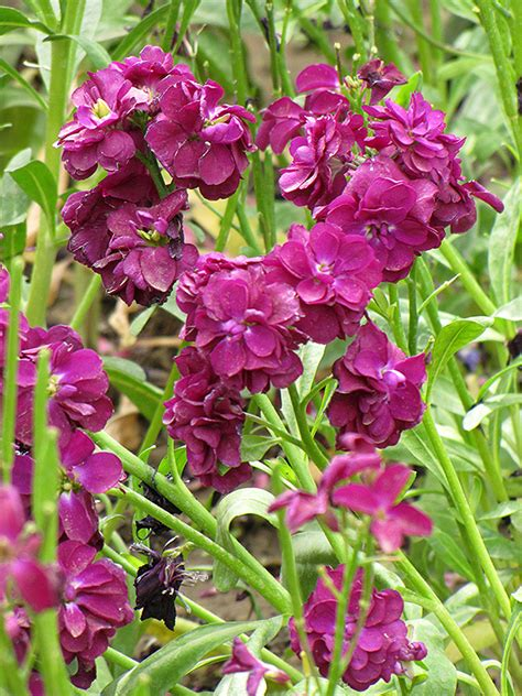 stock matthiola incana  boston hopkinton chelmsford