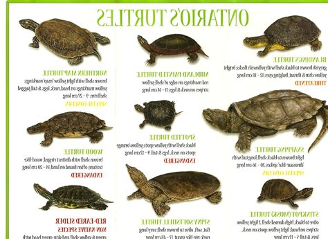 types of pet turtles names pictures to pin on pinterest pinsdaddy