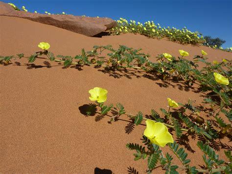 desert flower wild desert flowers beyonddisneytraveltips